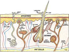 Natural Skin Care Tips & Healthy Skin Diagram