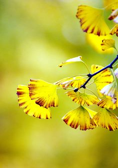 Gingko Biloba, beautiful golden yellow