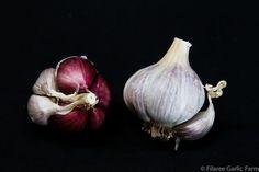 Organic Seed Garlic for Sale by Filaree Garlic Farm Purple Garlic, Garlic Farm, How To Store Garlic, Planting Garlic, Garlic Seeds, Perennial Bulbs, Organic Garlic, Homestead Gardens, Garlic Bulb