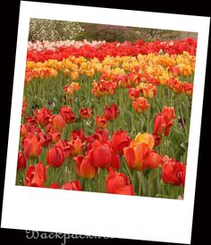 25 Photos to Inspire You to Visit Tulip Festival in Utah! – BACKPACK N BRUSHES