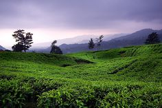25 Best Indonesia Tourism Objects for Your Itinerary: Tea Plantation, Bandung
