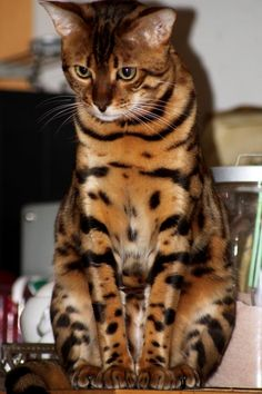I really love the beautiful markings of this cat. Looks like a mini tiger.  :)