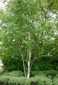 Multi-stemmed silver birch tree
