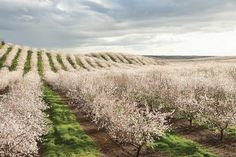 Between late February and early March, almond tree buds burst into beautiful light pink and white blooms in preparation for pollination.