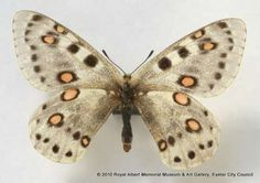 This apollo butterfly was given to the Museum by the Trustees of the British Museum (now the Natural History Museum, London). Unfortunately we do not know who collected it or where. Parnassius apollo is vulnerable to extinction