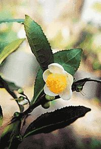 Tea Camelia Blossom The profuse flowering, dense, round evergreen Camellia sinensis, whose leaves are used for green and black and white tea is an excellent ornamental.Leaves are glossy dark green and fall flowers are white with yellow centers. The bush is compact and round @ 6'tall and 5' wide