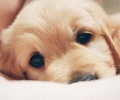 What a cute golden retriever puppy - makes us weak in the knees! Cute Puppies, Cute Dogs, Dogs And Puppies, Baby Dogs, Animals And Pets, Baby Animals, Cute Animals, Cute Creatures, Cocker Spaniel