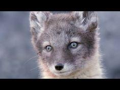 Adorable Alopex! Amazing Animal Babies: Arctic Foxes (Ep 9) - Earth Unpl...
