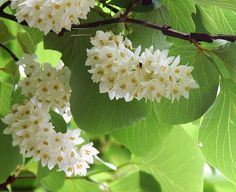 214 Best Large Fragrant Shrubs And Trees Images Shrubs Plants Seeds
