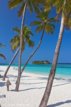 Palm trees sway about in the breeze in Veligandu Island, Maldives