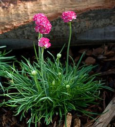 Thrift - Plant Encyclopedia - BHG.com 'Morning Star Deep Rose' thrift Armeria maritima 'Morning Star Deep Rose' has rich rose flowers that last for a long time over a mound of grassy green foliage. It grows 6 inches tall. Zones 3-9