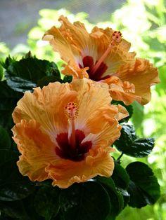 """Hibiscus ~ Miks' Pics """"Flowers l"""" board @ http://www.pinterest.com/msmgish/flowers-l/"""