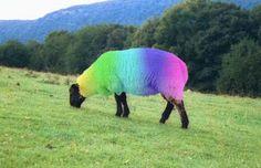 Rainbow sheep | rainbow_sheep.jpg