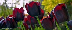 """Tulip Queen of Night--late blooming--24"""" h--full sun--Queen of Night is as close to black as a tulip is likely to get. It's actually a very deep maroon."""
