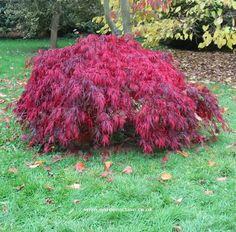 Dwarf Japanese Maple, Crimson Queen