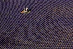 Los campos de lavanda de Vaucluse, Francia, parecen un tejido de pana.