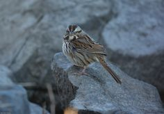 Song sparrow on the rocks along the Delaware River in Bristol, PA.