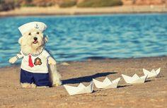 Perros disfrazados ,bichon maltes