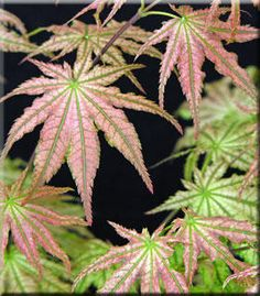 Another May 2012 purchase - Acer Palmatum Peaches and Cream