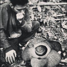 Rafflessia arnoldy