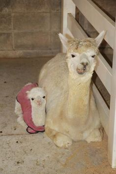 DA BABY LLAMA IN PAJAMAS! :'D