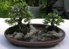 bonsai garden | Bonsai Tree Design for Garden Landscaping Ideas