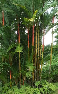 Tropical Sealing-Wax Palm Trees or Lipstick Palms. Red-orange and green stems. Palm Trees Landscaping, Tropical Landscaping, Backyard Landscaping, Patio Tropical, Tropical Garden Design, Tropical Flowers, Tropical Plants, Trees And Shrubs, Trees To Plant