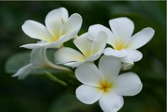 Names All Flowers | Delicate, Awesome Frangipani