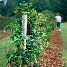 Bigger, Better Blackberries