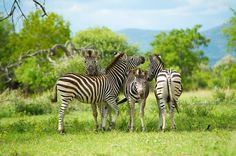 Four Zebra Photo by Shannon Benson -- National Geographic Your Shot