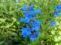 """Wasatch Penstemon  Penstemon cyananthus  1"""" long, tubular blue flowers above thick, waxy leaves. It grows to 3 ft. and blooms spring to early summer. One of the most beautiful blues available"""