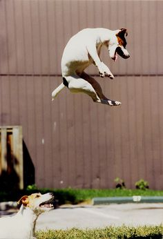 Air born! I have seen my jack russell do this.