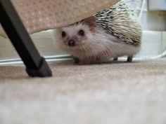 ♥ Pet Hedgehog ♥  Looking for me? :)
