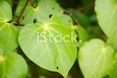 Lush Green Kawakawa Leaves Close-Up. Botanical Name (formally known as is used in or & is one of Medicinal Plants. More Royalty-Free Stockphotos available in my Portfolio. Kiwiana, Medicinal Plants, Lush Green, Native Plants, Embedded Image Permalink, Image Now, New Zealand, Close Up, Plant Leaves