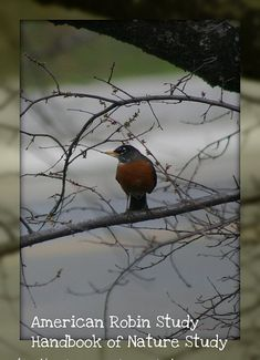 Spring Robin Study - Bird Challenge @HBNatureStudy using the Outdoor Hour Challenge.