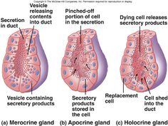 Exocrine Gland Secretion: merocrine, apocrine, holocrine