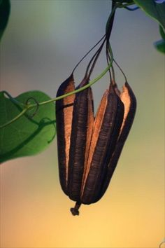 Seeds- Aristolochia's seed capsule   Whimsical Home and Garden