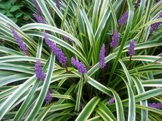 """ADAPTED: Liriope or Lily Turf -- a relatively short """"grass"""" in the lily family which can be used as an ornamental ground cover in the shadier parts of the lawn. Garden Shrubs, Shade Garden, Lawn And Garden, Garden Plants, Outdoor Plants, Outdoor Gardens, Liriope Muscari, Variegated Liriope, Lily Turf"""