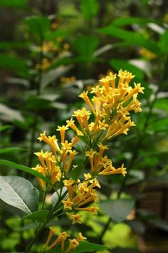 Cestrum - Yellow or OrangeDirt Doctor Howard Garrett Organic Gardening, Home, Health, Pet Care, Pest Control, Compost, Nutrition, Environment
