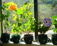 How to grow hibiscus indoors.