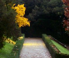 Fall leaves falling in the Boboli Gardens, Florence Italy the center of Tuscany and wine country! Home to the best Italian wines!