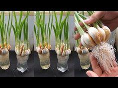 Aloo Methi, Masala Recipe, Growing Vegetables, Hydroponics, Indoor Garden, Agriculture, Orchids, Garlic, Diy Projects
