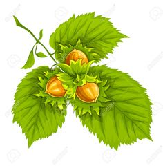 Nuts Of Hazelnut On Green Leaves.illustration. Isolated On White.. Royalty Free Cliparts, Vectors, And Stock Illustration. Image 28065215.