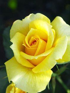 Yellow Rose | Flowers | Pinterest
