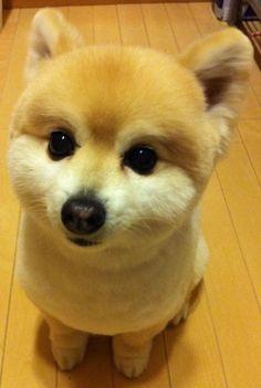 shiba inu puppy or am i wrong?
