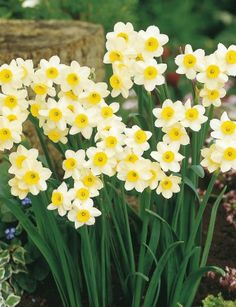 Narcissus 'Minnow' - Daffodil Bulbs