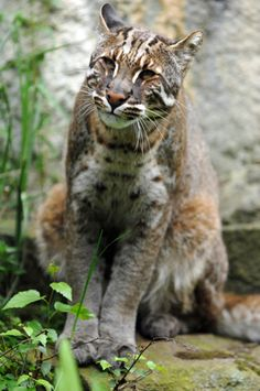 Asiatic golden cat. 2 or 3 times bigger than a domestic cat. As most people know, I LOVE cats but this one scares the crap out of me!