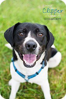 Detroit, MI - Spaniel (Unknown Type)/Pointer Mix. Meet Clipper- Foster Me!, a dog for adoption. http://www.adoptapet.com/pet/8615790-detroit-michigan-spaniel-unknown-type-mix