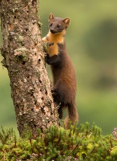 Alert. - Pine Marten photographed in the Highlands of Scotland. Captivating creatures if not very frustrating subjects.