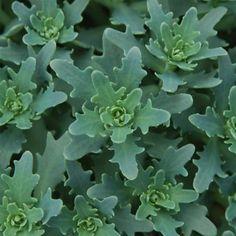 Sedum 'Thundercloud' - Succulents - Avant Gardens Nursery & Design